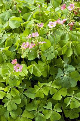 Mexican Wood-sorrel (oxalis Tetraphylla) Poster by Bob Gibbons