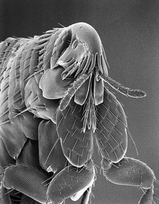 Microscopic View Of A Cat Flea Poster