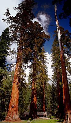 Mighty Redwoods Poster by Ellen Heaverlo