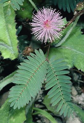 Mimosa Pudica. Poster by Bob Gibbons