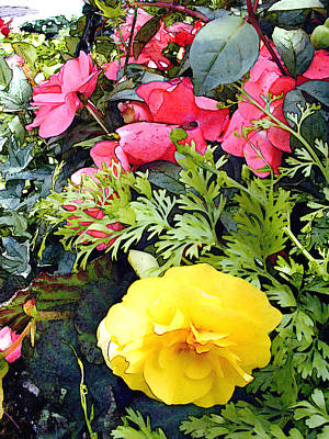 Mixed Ranunculus In A Hanging Basket Poster by Elaine Plesser