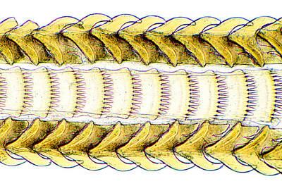 Mollusc Radula Poster