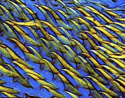 Mollusc Radula, Light Micrograph Poster