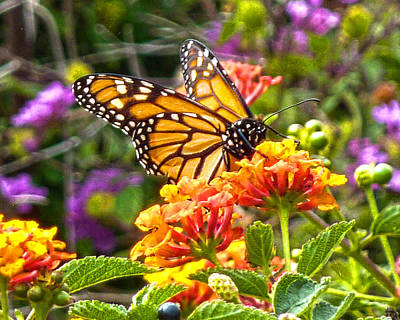 Monarch At Lantana Poster