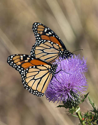 Poster featuring the photograph Monarch Butterflies On Field Thistle Din162 by Gerry Gantt