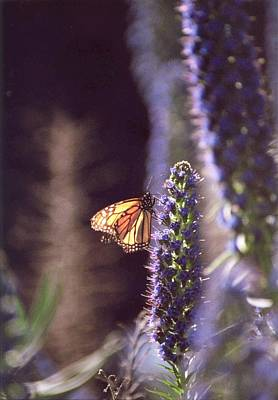 Poster featuring the photograph Monarch Butterfly by Cynthia Marcopulos