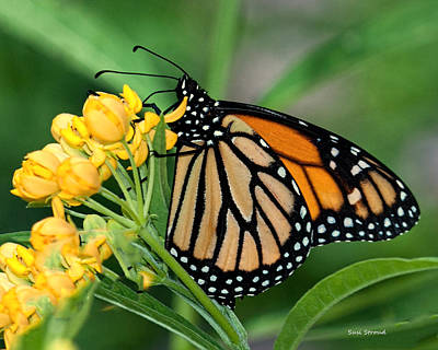 Monarch Butterfly Poster by Susi Stroud