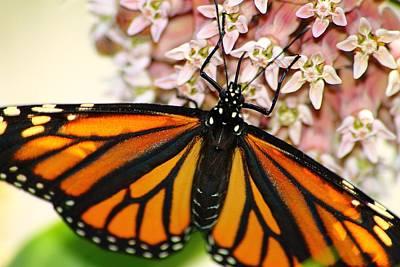 Monarch On Milkweed 5 Poster