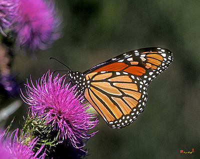 Monarch On Thistle 13f Poster by Gerry Gantt