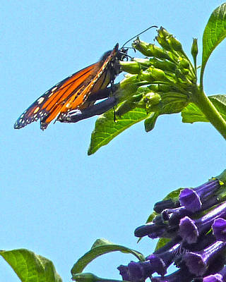 Monarch With Purple Flower Poster