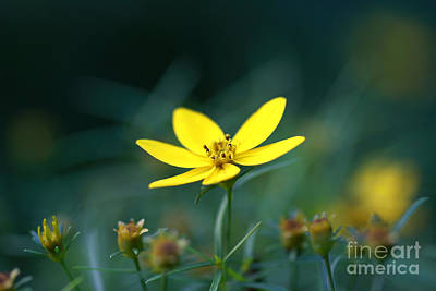 Moonbeam Coreopsis Poster by Denise Pohl