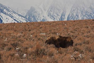 Moose Grand Teton National Park Poster