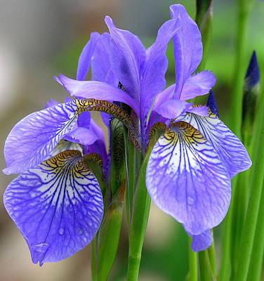 Morning Dew On Siberian Iris Poster by Anne Gordon