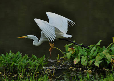 Morning Flight Egret  - C3354c Poster by Paul Lyndon Phillips