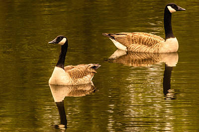 Morning Geese  Poster by Ken Beatty