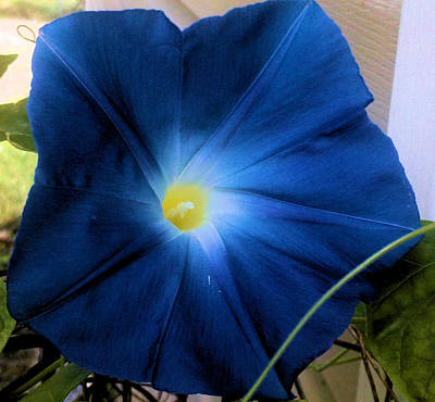 Morning Glory Blue Poster