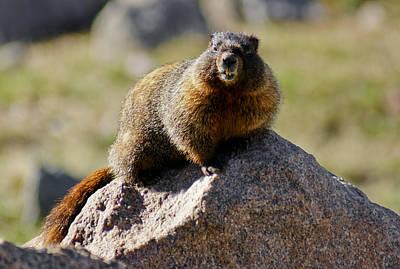 Morning Marmot Poster