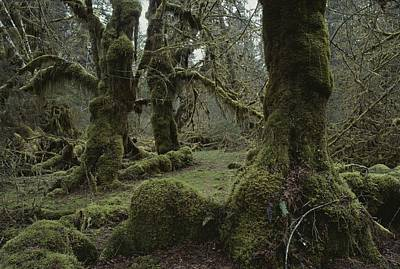 Moss-covered Trees In The Hoh River Poster
