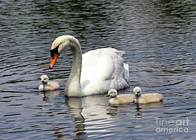 Mother And Baby Swans Out For A Sunday Stroll Poster by Inspired Nature Photography Fine Art Photography