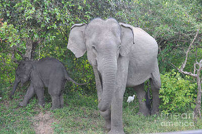 Mother Elephant And Baby Poster