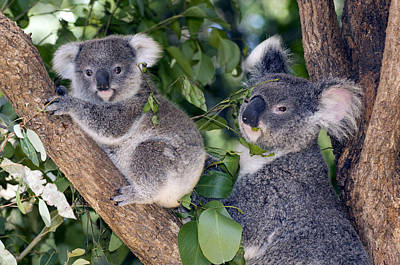 Mother Koala And Young Poster