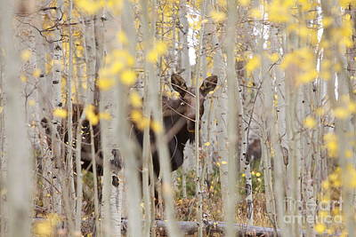 Mother Moose In The Aspens Poster