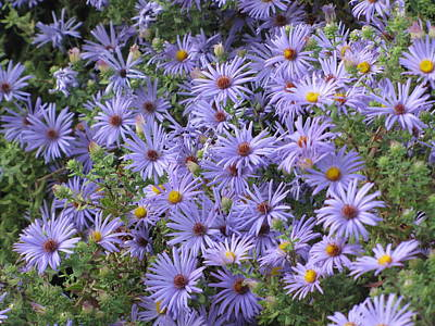 Poster featuring the photograph Mother's Asters by Shawn Hughes