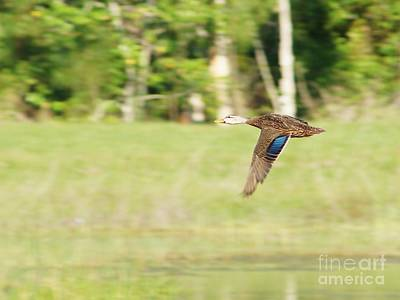 Mottled Duck Flying Poster by Lynda Dawson-Youngclaus