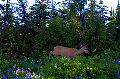 Mount Rainier Deer Poster