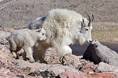 Mountain Goat Momma With Kid Poster by Stephen  Johnson
