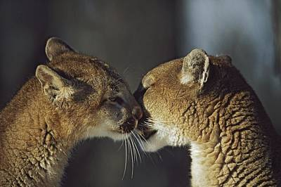 Mountain Lion Felis Concolor Cub Poster
