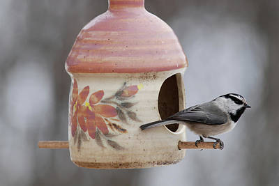 Mountian Chickadee At Feeder Poster