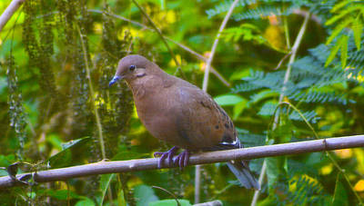 Mourning Dove Cooling Out Poster