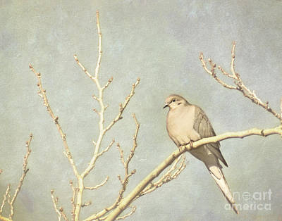 Mourning Dove In Winter Poster