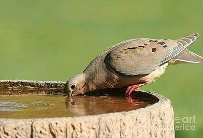 Poster featuring the photograph Mourning Dove by Jack R Brock