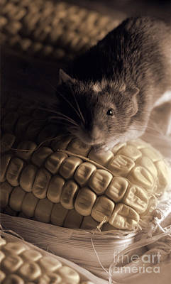 Mouse And Field Corn Poster by Janeen Wassink Searles