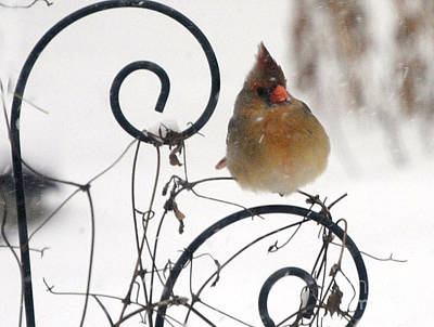 Poster featuring the photograph Mrs. Cardinal by Tamera James