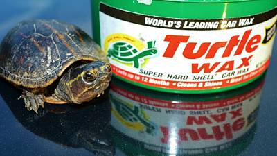 Mud Turtle Wax Poster