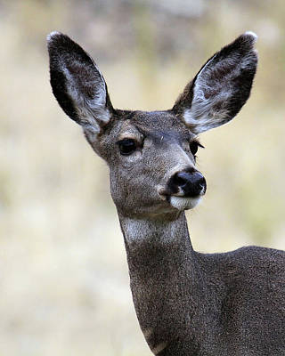 Poster featuring the photograph Mule Deer Doe by Steve McKinzie