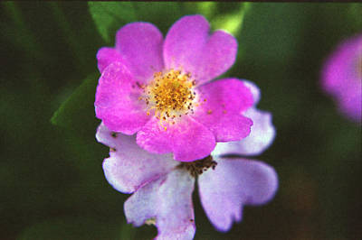 Multiflora Rose Poster