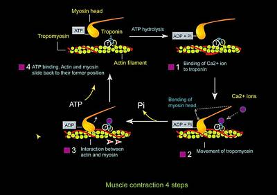 Muscle Contraction, Artwork Poster