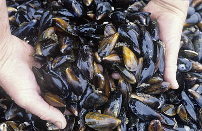 Mussel Farming Poster by Louise Murray