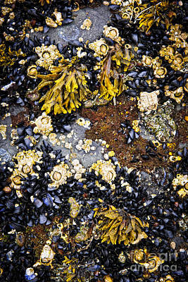 Mussels And Barnacles At Low Tide Poster by Elena Elisseeva