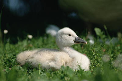Mute Swan Cygnus Olor Chick, Germany Poster by Konrad Wothe
