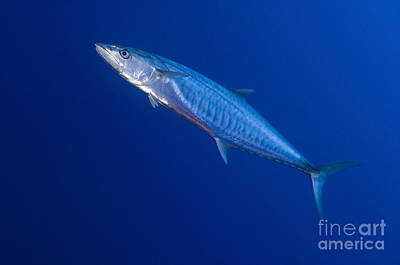 Narrow Barred Spanish Mackerel Poster