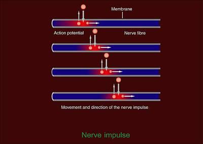 Nerve Impulse Propagation, Diagram Poster by Francis Leroy, Biocosmos