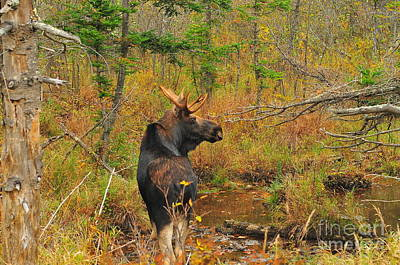 New Hampshire Bull Moose Poster by Catherine Reusch Daley