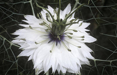 Nigella Damascena Miss Jekyll White Poster by Archie Young