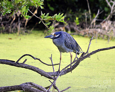 Night-heron Poster by Al Powell Photography USA
