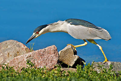Night Heron At Ketring Lake Poster